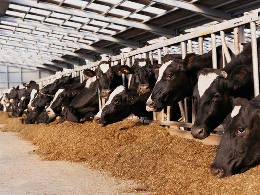 635499971683049797-cows