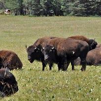 Buffalo gores camper on California island