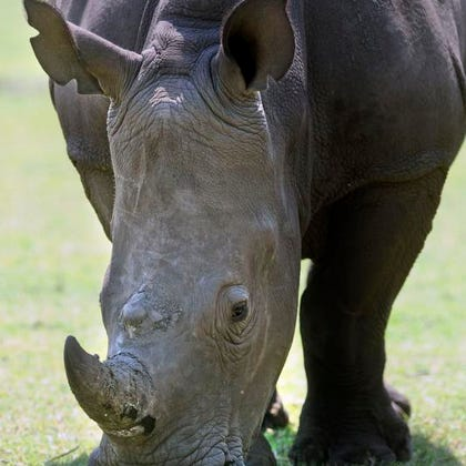 One of two white rhinoceroses acquired by the Gulf Breeze Zoo in 2011.