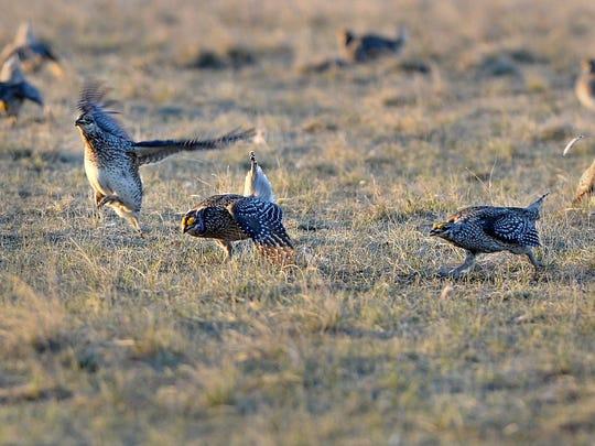 -04122016_sharp-tailed grouse-f.jpg_20160413.jpg