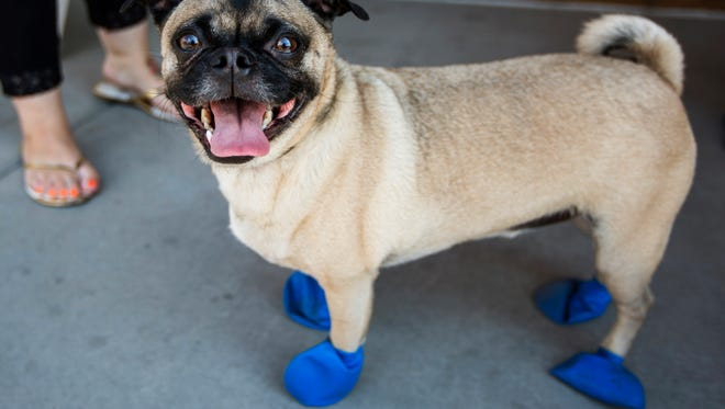 """The Fulton Homes Foundation """"Cause for Paws"""" program is giving away free booties at PetSmart stores across the Valley to help dog owners protect their pup's paws from scorching pavement."""
