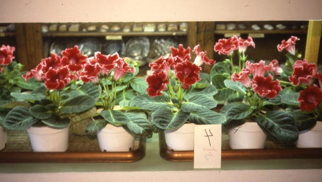 A large indoor light garden will grow colorful flowering gloxinias for the holidays. Wise plant selections can be grown year-round with an indoor light garden. Richard Poffenbaugh Photo.