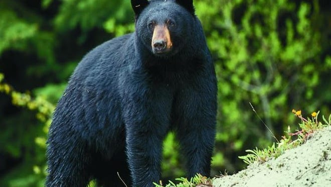 MDC was seeking public comments on a proposed hunting season for black bears in Missouri.