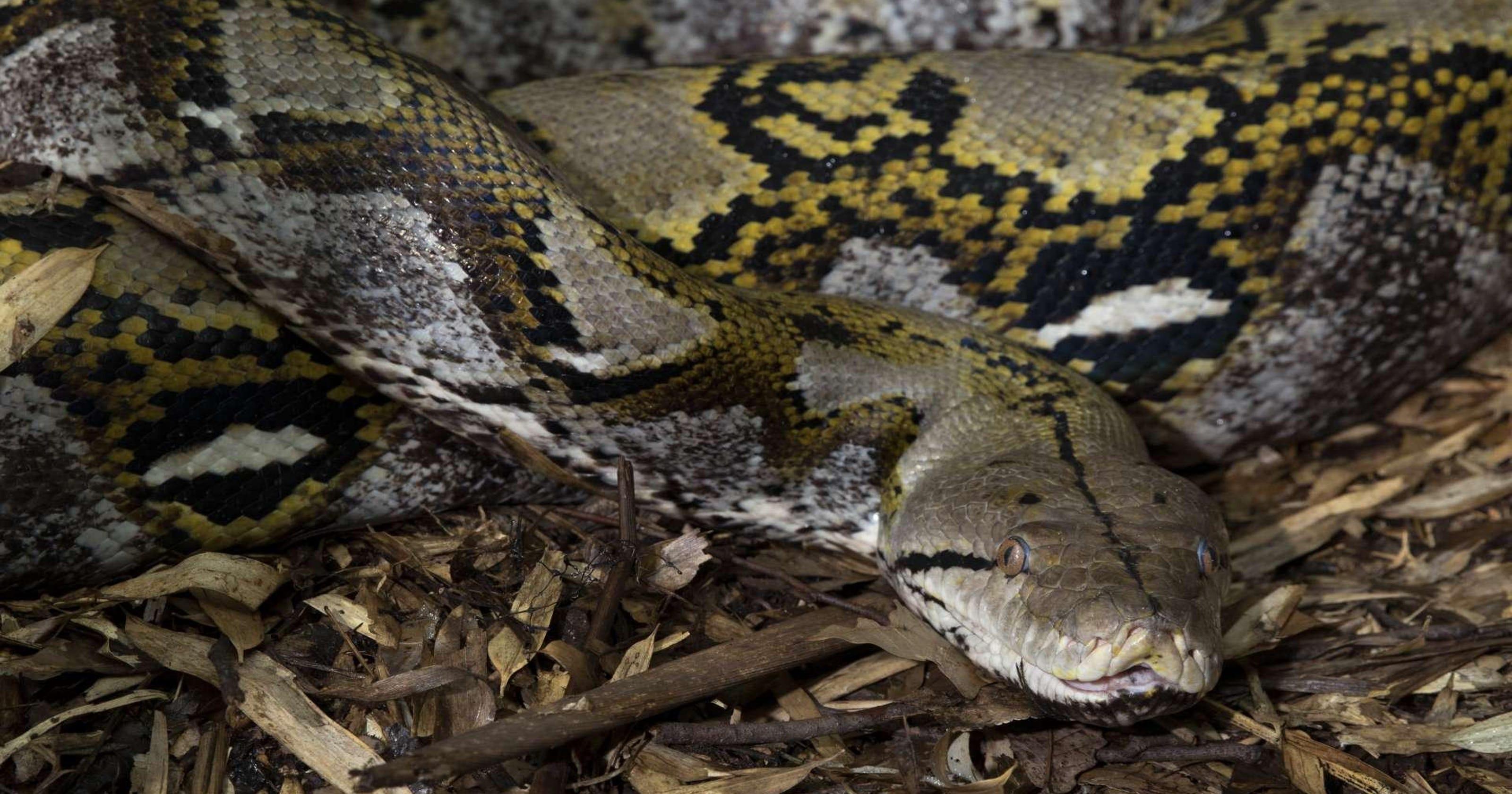 23-foot-long python swallows Indonesian woman