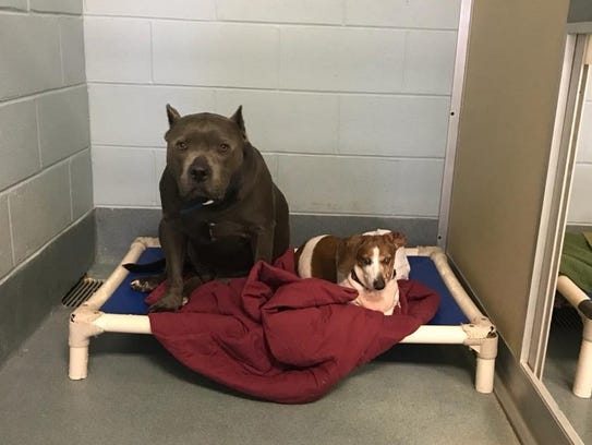 Blue Dozer, a 6-year-old pit bull, and 12-year-old