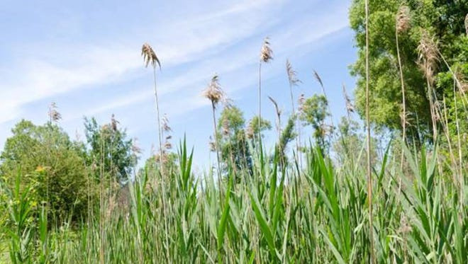 Phragmites can grow to 15 feet in height. Anyone who finds the aggressive, invasive plant is encouraged to report the findings to the Midwest Invasive Species Information Network (MISIN) using a smartphone app.