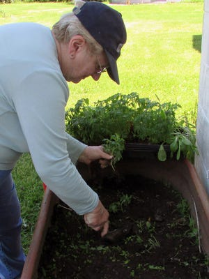 Susan Manzke plants tomatoes in a stock tank raised garden. Old tomato seeds that germinated despite the author's certainty they wouldn't resulted in an over abundance of tomato plants this year.