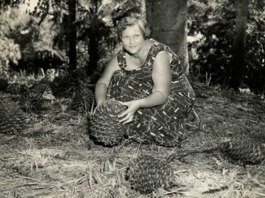 Evelyn Horne with some of the monkey puzzle trees' cones in 1949