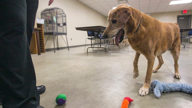 Goldie, a 14-year-old golden retriever, waits for Executive Director Sybil Soukup to throw a tennis ball at the Humane Society of North Iowa, Thursday, Jan. 14, 2016 in Mason City, Iowa.
