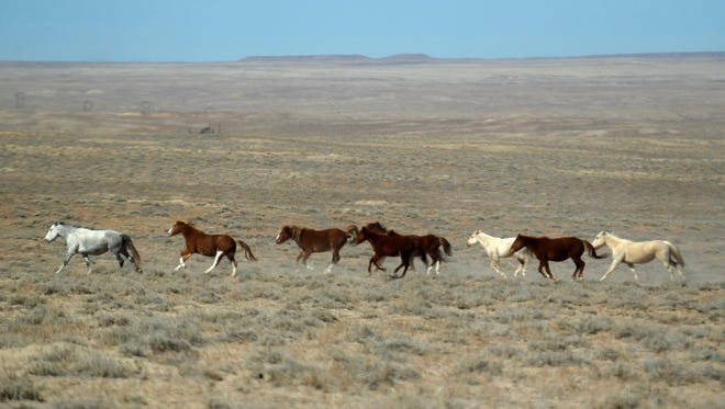 Wild horses run in a field on Monday, Feb., 26, 2018 in Shiprock.