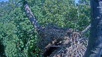 Just a week after the Hanover eagles removed the last traces of their failed nesting season, the birds' nest has collapsed.