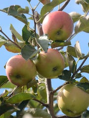 Visitors to Erwin's can head into its orchards to pick
