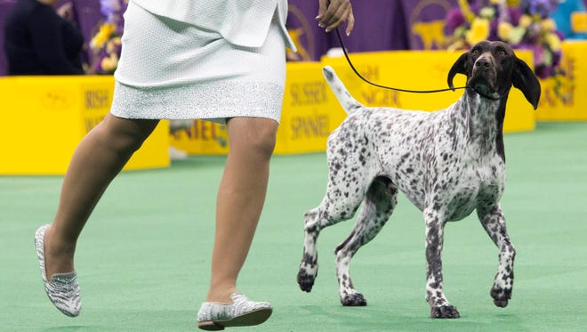 C.J., a German shorthaired pointer, won the sporting group competition at the 140th Westminster Kennel Club dog show,  Feb. 16, 2016, in New York.