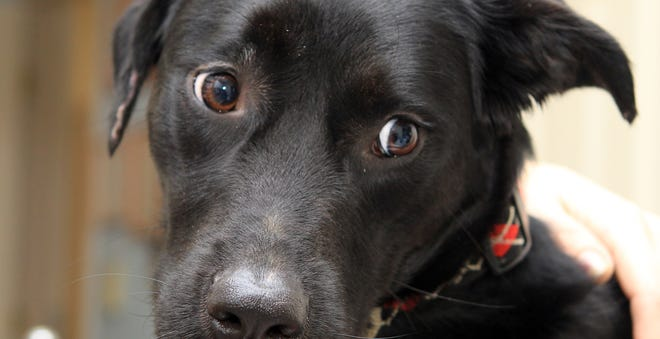 Sadey, a rescued black labrador retriever from Independence, is Cincinnati's and the nation's most popular dog.