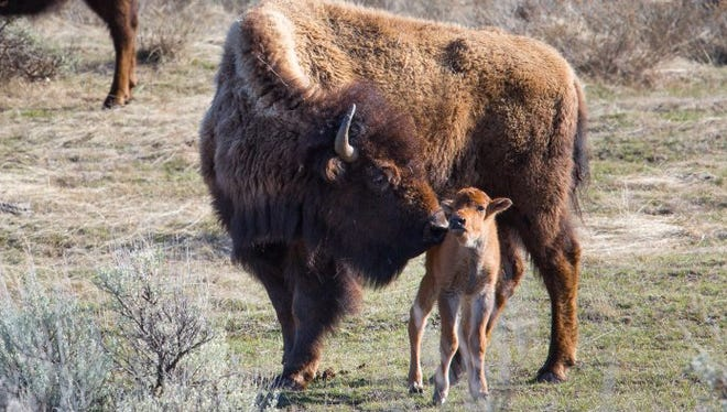 An adult bison and calf