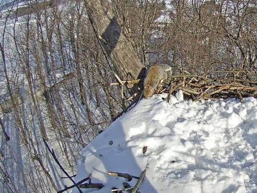 braveheart squirrel