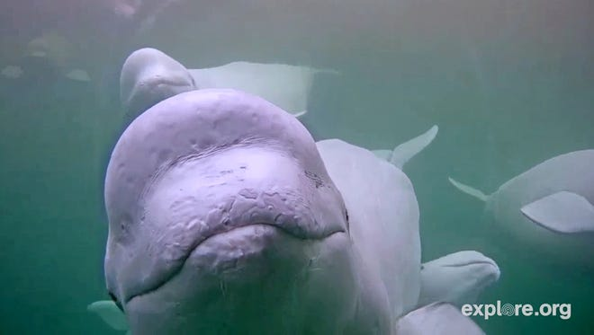 This July 2016 photo provided by Explore.org shows the view of a beluga whale from a webcam gathered in the Churchill River in the Hudson Bay in Manitoba, Canada. Canadian researchers are turning to the internet to learn about the social behavior of thousands of beluga whales that migrate to Hudson Bay every year.