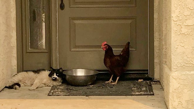 In this photo taken July 28, 2018, provided by the Grass Valley Fire Department, a cat seeking refuge from a raging Northern California wildfire found a fine-feathered friend as it awaited rescue from the heat and flames in Redding, Calif. The Grass Valley Fire Department said Thursday, Aug. 2, 2018, a cat and chicken it rescued over the weekend are recovering from burns with the help of the SPCA. The feline and hen were found Saturday huddling together on a front porch in Redding during a firefighters' patrol through a fire-damaged neighborhood.
