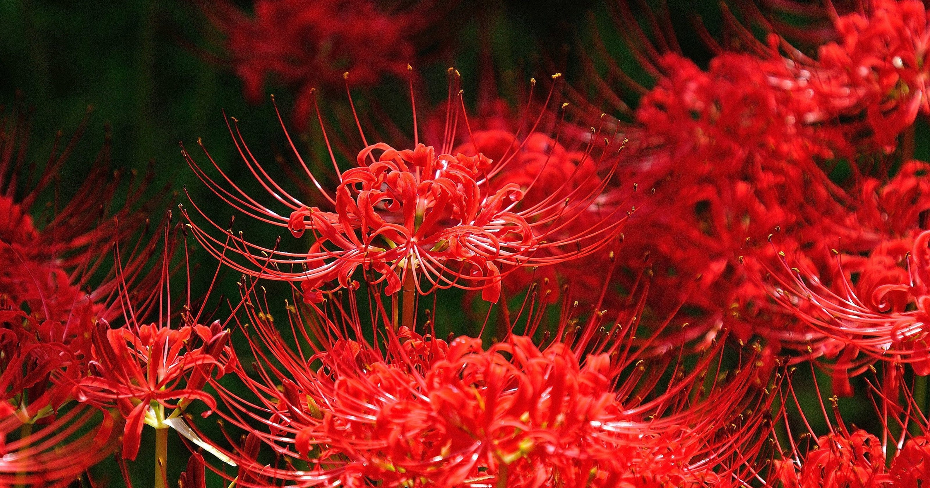 Red spider lilies are a late summer treat izmirmasajfo