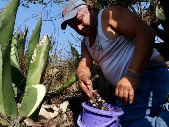 Mario Ávila López con una cosecha de escamoles en Calpulalpan