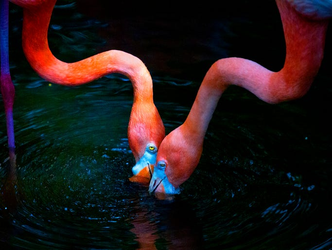 A pair of greater flamingos feed recently at the Everglades Wonder Gardens in Bonita Springs.