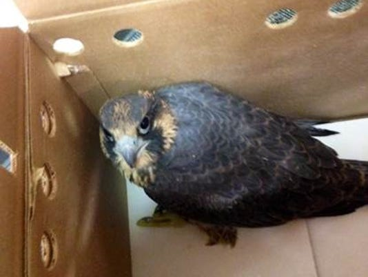 Baby peregrine falcon living in downtown Phoenix