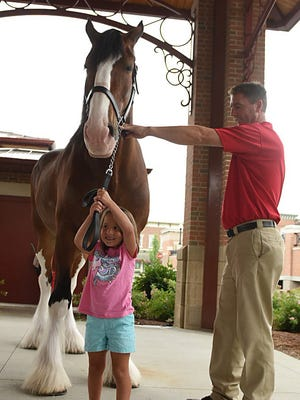 Sierra Dailey, 5, holds the reins of Sparky, one of the 2,000 pound and 18 hand high Budweiser Clydesdales during the first day of Downtown Newark SummerFest. Matesich Distributing arraigned for the horses as part of their 90th anniversary celebrations. The festival will include local musicians, food, beer and wine, and a craft fair on Saturday. The street festival continues on Friday from 4:30 p.m. to 1- p.m. and Saturday from 11:30 a.m. to 5 p.m.