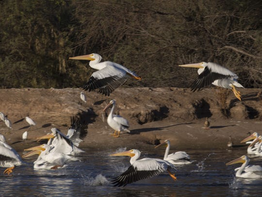 Pelicans are among the 150 bird species that frequent the restored Tres Rios Wetlands.