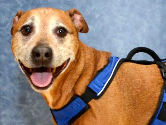 Smitty, a pit bull terrier-labrador retriever mix,
