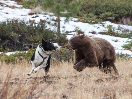 Karelian Bear Dog For Sale Ontario