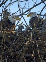 Two bald eagles sit in a nest with their baby on Belle Isle in Detroit on May 6, 2020.