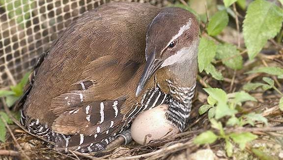 In this file photo, a female ko'ko' nests with her egg at Guam's breeding facility.