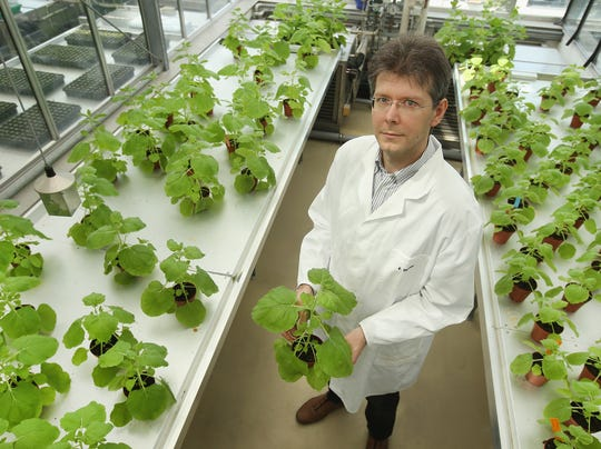 Dr. Frank Thieme, Manager of Development at Icon Genetics, holds a nicotiana benthamiana plant, which is a close relative of tobacco, in a greenhouse at the company's facilities on August 14 in Halle, Germany. Icon Genetics has developed a process to produce proteins and enzymes from this plant that will be used in the production of ZMapp, which is able to stop infections in monkeys but hasn't been formally tested on humans.