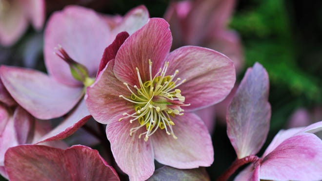 Helleborus one of the first spring flowers in the garden