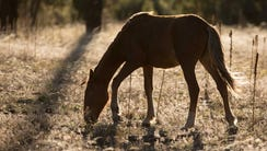 A young wild horse grazes on rangeland in the Arizona's