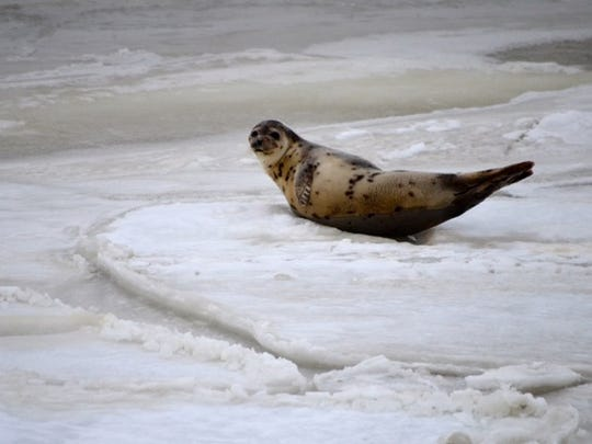 A harp seal rests on ice at Roosevelt Inlet in Lewes.