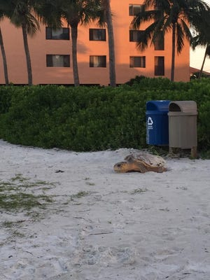 A female loggerhead sea turtle lays eggs just before dawn Friday near Beach Access 18 on Fort Myers Beach. Loggerheads usually lay eggs at night; this turtle probably came ashore in the dark.