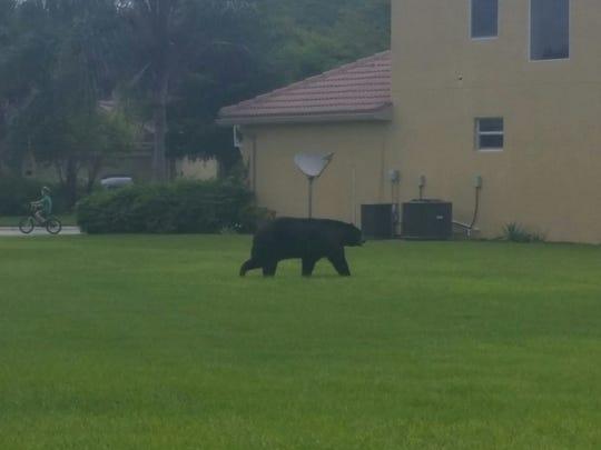 A black bear is walking around the Bella Terra gated