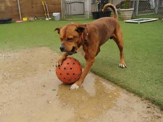 A dog plays at Santa Paula Animal Rescue Center, or SPARC, in this file photo.