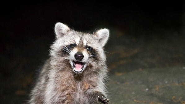 A raccoon found in Salisbury, similar to this animal, has tested positive for rabies.