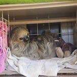Photos: Fernando the sloth at the Phoenix Zoo