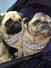 These pugs came dressed to impress at the 2017 Milwaukee