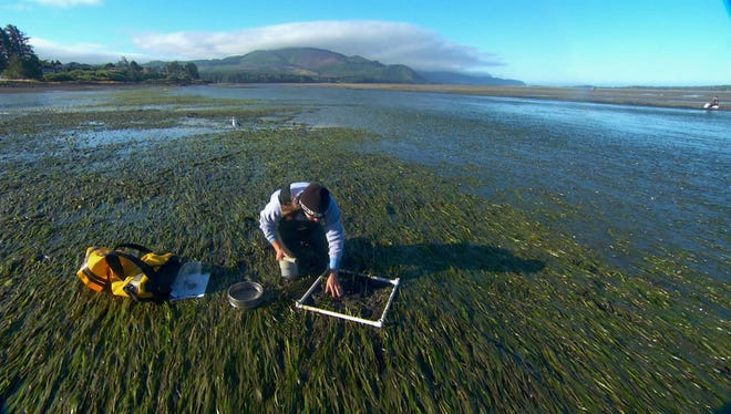 OSU researcher Caitlin Magel takes samples from an eelgrass bed in Netarts Bay.