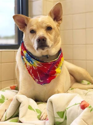 Josie is a Labrador/Terrier/Chow Chow waiting for a home at the Nashville Humane Association.