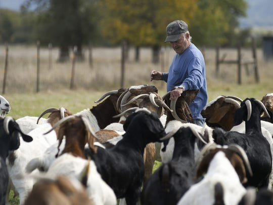Norman Vizina works with his goats on a farm along Airport Road near Lebanon, OR.