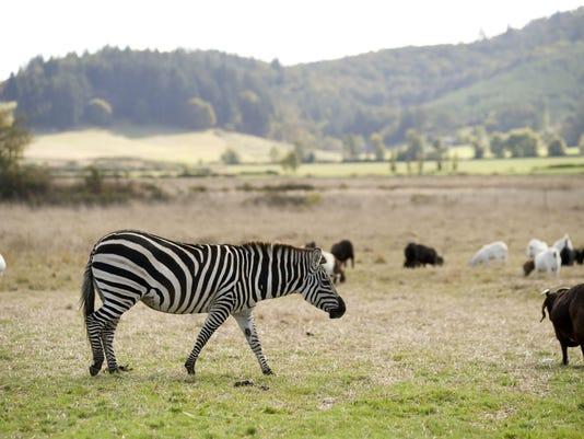 oregon goat farm zebra.jpg