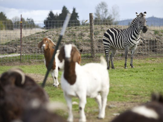 Zinfandel watches over goats on a farm along Airport Road near Lebanon, Ore., Monday Oct. 2, 2014. Zinfandel, a female Grant's zebra, is extremely protective of the goats raised by her owners, Norman and Rosalinda Vizina of Lebanon, Ore.