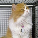 Goldie is a sweet-natured Persian mix.  Sun Cities 4 Paws Rescue Goldie. Credit: Sun Cities 4 Paws Rescue.