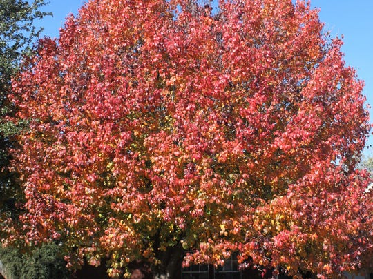 A Bradford pear shows off its colors in Abilene.