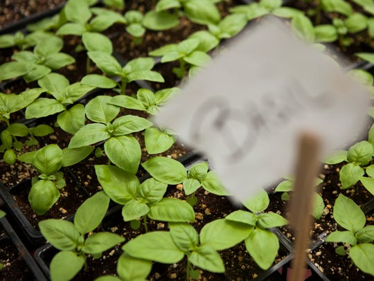 File photo of basil plants.